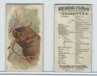 N25 Allen & Ginter, Wild Animals, 1888, Beaver