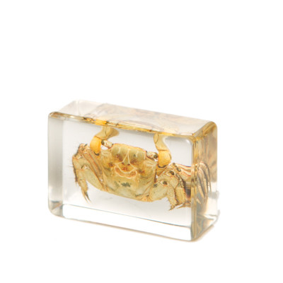 Chinese Mitten Crab in Resin