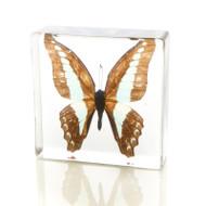 Butterfly in Resin - Common Bluebottle