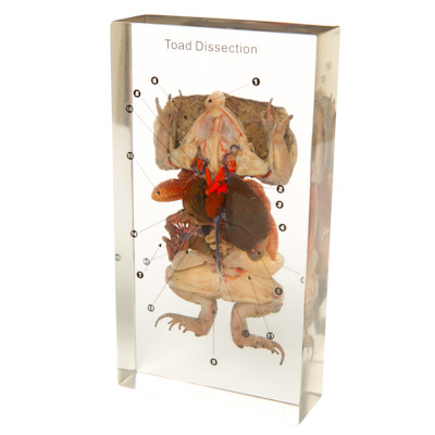 Toad Dissection in Resin