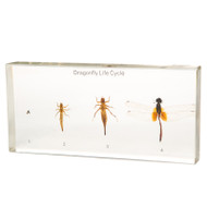 Dragonfly Life Cycle in Resin
