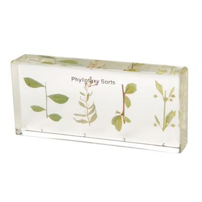 Leaf Phyllotaxy