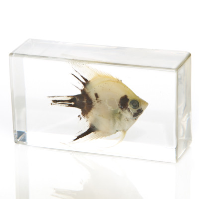 Angel Fish in Resin