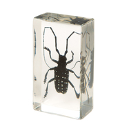 Citrus Long Horned Beetle in Resin