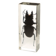 Long-fanged Stag Beetle in Resin