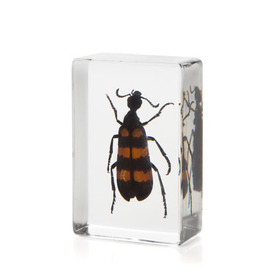 Blister Beetle in Resin