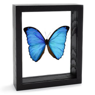 The Overlook Morpho Butterfly - Morpho menelaus - Black Finish