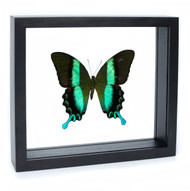 Green Buddha Swallowtail - Papilio blumei - Black Finish
