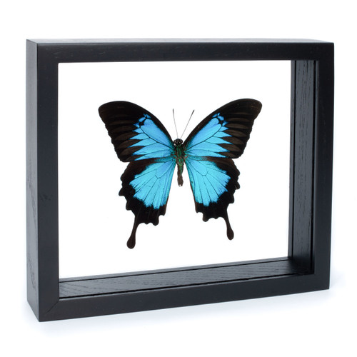 Blue Emperor Swallowtail Butterfly - Papilio ulysses - Black Finish