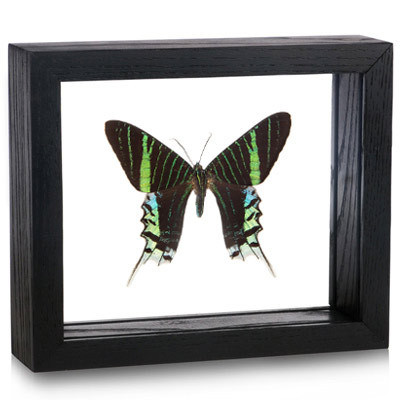Aurora Day Flying Moth  -Urania leilus - Topside
