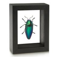 Bullet Jewel Beetle - Sternocera aequisignata