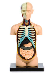 Anatomical Snap-Together Kit, Torso, Original