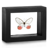 Blushing Phantom Butterfly - Cithaerias pireta (Topside)