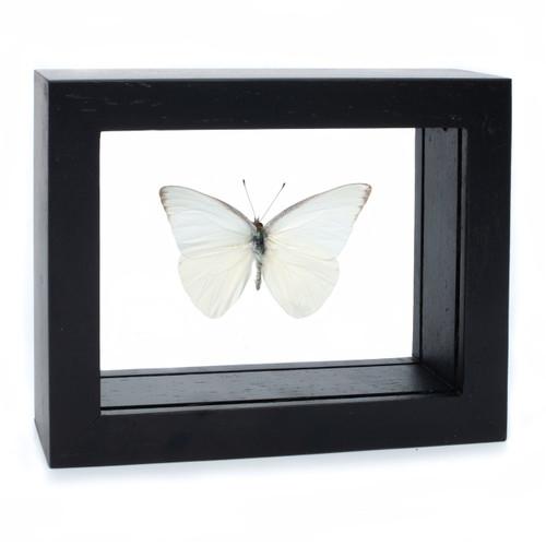 Common Albatross Butterfly - Appias albina - Black Finish