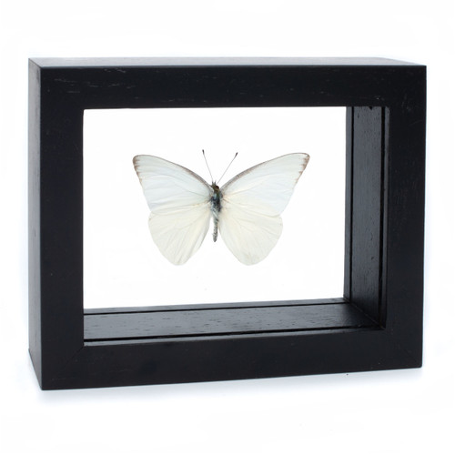 Common Albatross Butterfly - Appias albina - Black Finish