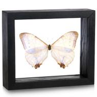 Pearl Morpho Butterfly - Morpho sulkowski