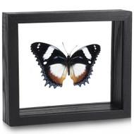 Madagascar Diadem Butterfly - Hypolimnas dexithea