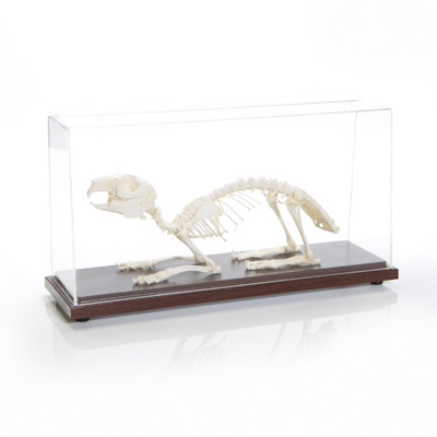 Rabbit Skeleton
