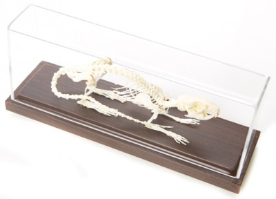 Rat Skeleton