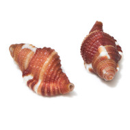 Red-breasted Triton - Seashell