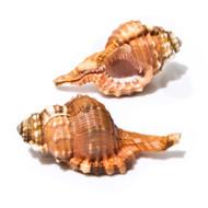 Pear Triton - Seashell