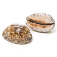 Arabian Cowrie - Seashell