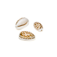 Sieve Cowrie - Seashell