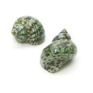 Green Turbo - Seashell