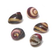 Zigzag Nerite - Seashell