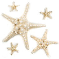 Knobby Star - Seashell