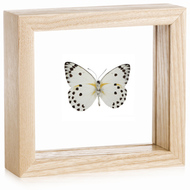Calypso White Butterfly - Belenois calypso (Underside)