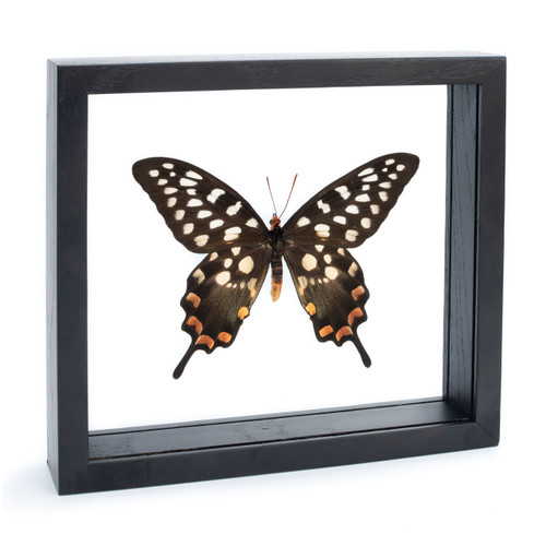 The Emma Spotted Swallowtail Butterfly - Papilio antenor - Topside - Black Finish