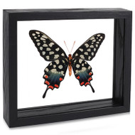 The Emma Spotted Swallowtail Butterfly - Papilio antenor - Underside - Black Finish