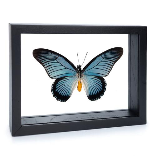 Giant Blue Swallowtail - Papilio zalmoxis - Black Finish