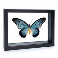 Giant Blue Swallowtail - Papilio zalmoxis - Black Finish