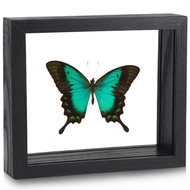 Sea Green Swallowtail Butterfly - Papilio lorquinianus