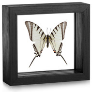 Short-Lined Kite Swallowtail - Protographium agesilaus
