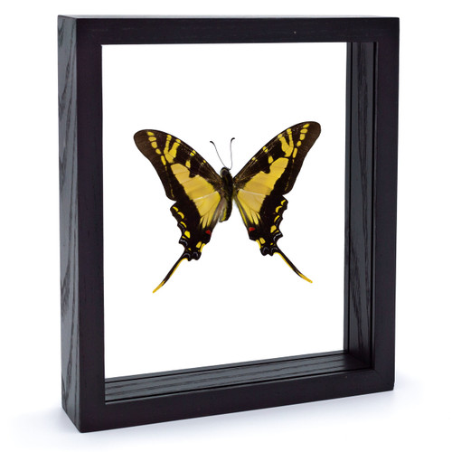 Yellow Swordtail Butterfly - Eurytides thyastes - Black Finish