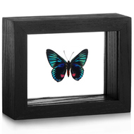 Metalmark Butterfly - Necyria duellona (Underside)