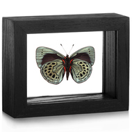 Leprieur's Glory Butterfly - Asterope leprieuri (Underside)