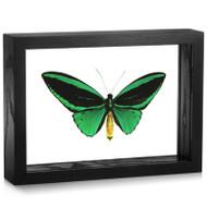 Common Green Birdwing - Ornithoptera priamus poseidon (Topside)