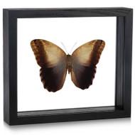 Giant Owl Butterfly - Caligo memnon (Topside)