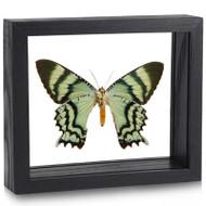 Mint Uraniid Moth - Alcides orontes