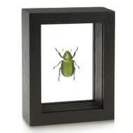 Beyer's Scarab Beetle - Chrysina beyeri