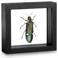 Metallic Wood-Boring Beetle - Megaloxantha bicolor