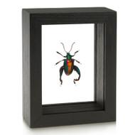 Frog-Legged Leaf Beetle - Sagra buqueti