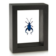 Frog-Legged Beetle - Sagra femorata - Blue