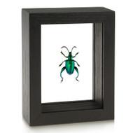 Frog-Legged Beetle - Sagra femorata - Deep Green