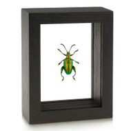 Frog-Legged Beetle - Sagra femorata - Green