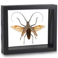 Hercules Longhorn Beetle - Batocera hercules